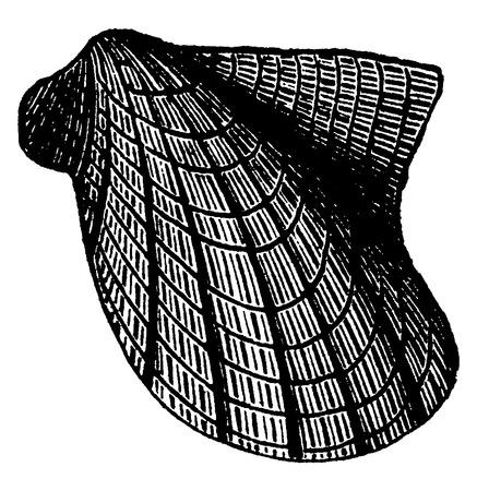 molluscs: Pteropod molluscs of the Devonian period, Avicula flabella, vintage engraved illustration. Earth before man – 1886. Illustration