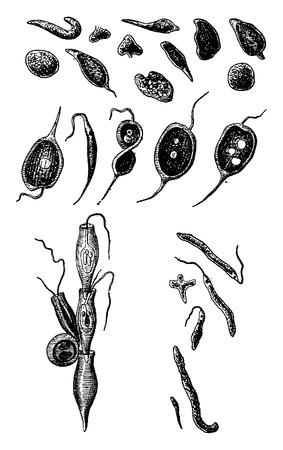 intermediate: Prostistes (intermediate between animal and vegetal), vintage engraved illustration. Earth before man – 1886. Illustration
