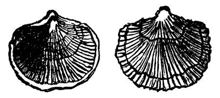 before: Orthis etegantula, vintage engraved illustration. Earth before man – 1886.