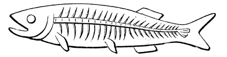 ichthyology: Transformation of the tail of fish, vintage engraved illustration. Earth before man – 1886.