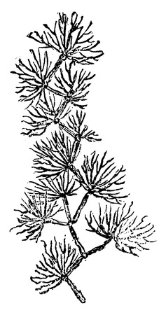 period: Older plants. Cambrian period. Murchisonites forbesi, vintage engraved illustration. Earth before man – 1886. Illustration
