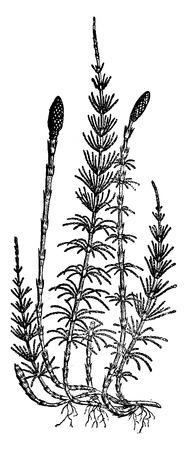Equisetum sylvaticum (horsetail), vintage engraved illustration. Earth before man – 1886. 일러스트