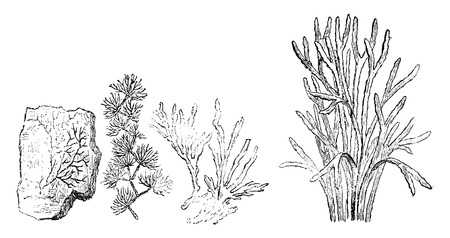 alga: Older plants. Cambrian period. 1. Petrifaction chondrite. 2. Murchisonites forbesi. 3. Ancient chondrites. 4. Seaweed, vintage engraved illustration. Earth before man – 1886.