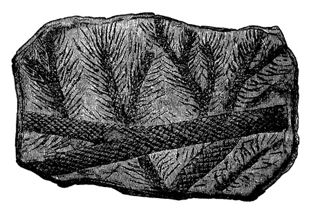 genus: Fossil Lepidodendron branches, vintage engraved illustration. Earth before man – 1886.