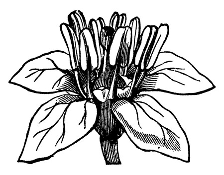 Flower Boswellia, vintage engraved illustration. Earth before man – 1886.