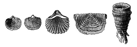 The first animals. Fossil shells of brachiopods of the Silurian period, vintage engraved illustration. Earth before man – 1886. Иллюстрация