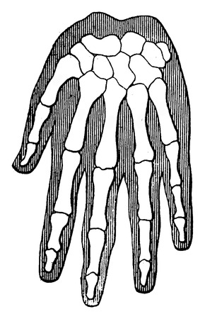 anthropology: Organic unity and kinship of beings, Human Hand (the outer contour represents the flesh), vintage engraved illustration. Earth before man – 1886.