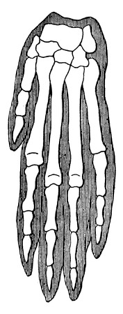 phalanges: Organic unity and kinship of beings, Dog, vintage engraved illustration. Earth before man – 1886.