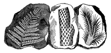 fossil: Fossil footprints of a fern, a truncated Lepidodendron and a branch of the same tree, vintage engraved illustration. Earth before man – 1886.