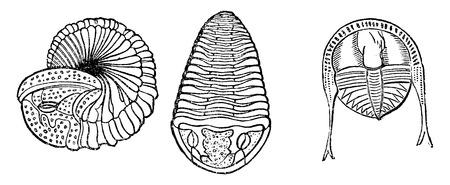 arthropods: Important marine animals, Trilobites, vintage engraved illustration. Earth before man – 1886.