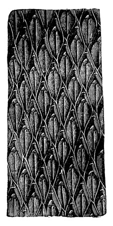 genus: Lepidodendron bark aculeatum, vintage engraved illustration. Earth before man – 1886.