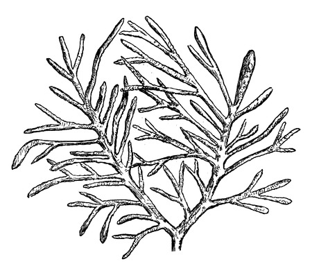 Older plants, Crossochorda found in the Silurian of Bagnols, vintage engraved illustration. Earth before man – 1886.