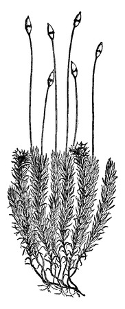 herbaceous: Polytrichum commune (Moss), vintage engraved illustration. Earth before man – 1886.
