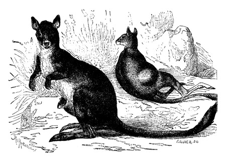 pouch: Marsupials, early mammals, vintage engraved illustration. Earth before man – 1886.