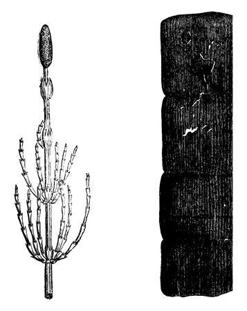 calamity: Plants of the Devonian period, Equisetum, Fragment calamity petrified, vintage engraved illustration. Earth before man – 1886.