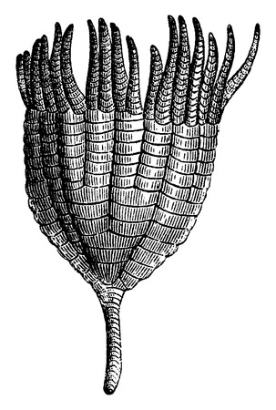 laevis: Crinoids, Ichthyocrnus laevis in the open arms,  vintage engraved illustration. Earth before man – 1886.