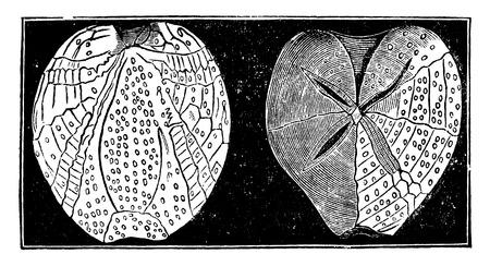 echinoderm: Fossil echinoderms, vintage engraved illustration. Earth before man – 1886. Illustration