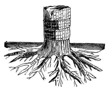 Roots signet, Stigmaria, vintage engraved illustration. Earth before man – 1886.  イラスト・ベクター素材