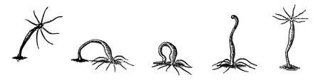 locomotion: The freshwater hydra and its mode of locomotion, vintage engraved illustration. Earth before man – 1886.