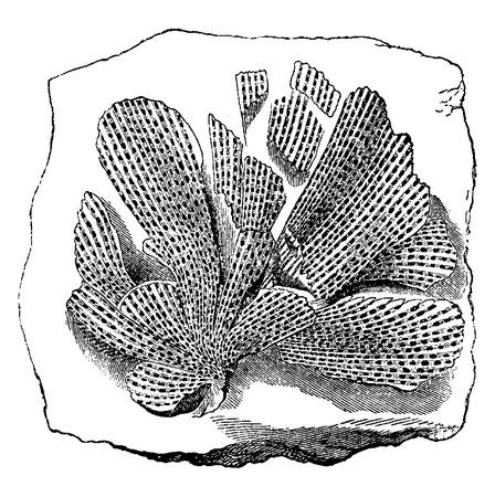 fossil: Los animales m�s viejos. Moluscos f�siles de briozoos tenuiceps Fenestella, ilustraci�n de la vendimia grabado. Tierra antes que el hombre - 1886.