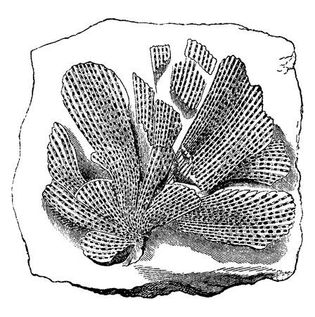 moss: Older animals. Mollusk fossil bryozoan Fenestella tenuiceps, vintage engraved illustration. Earth before man – 1886.