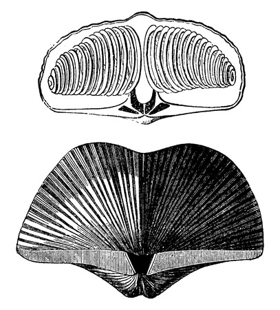 phylum: Molluscs brachiopods of the Devonian period. Spirifer striatus, vintage engraved illustration. Earth before man – 1886. Illustration