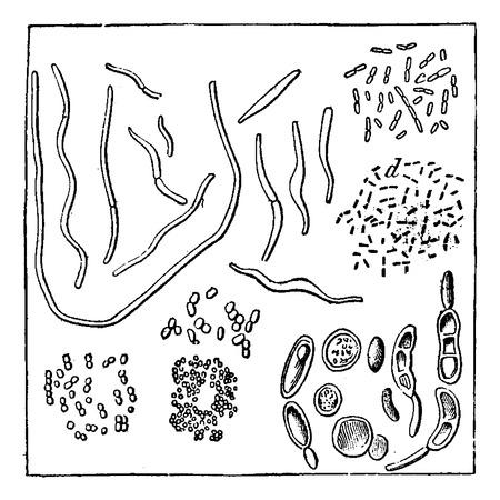diameter: Germi atmosferiche, ingrandite 1000 volte di diametro, a, b. vibrio, c, d. batteri, f, g, h. Micrococcus varie, i. torule vario, vintage illustrazione inciso. Terra prima che l'uomo - 1886.