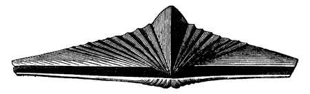 period: Molluscs brachiopods of the Devonian period. Spirifer macropterus, vintage engraved illustration. Earth before man – 1886.