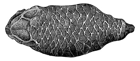 devonian: The first fish. The holoptychius andersoni, vintage engraved illustration. Earth before man – 1886.