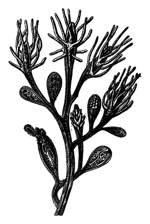 hydra: Hydroid freshwater, Colony Cordylophora lacustris, of Edmond after Perrier, vintage engraved illustration. Earth before man – 1886.