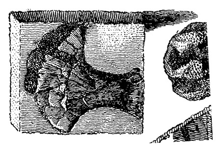 sedimentary: Fossil collections, vintage engraved illustration. Earth before man – 1886.