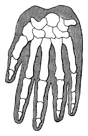 phalanges: Organic unity and kinship of beings, Gorilla, vintage engraved illustration. Earth before man – 1886. Illustration