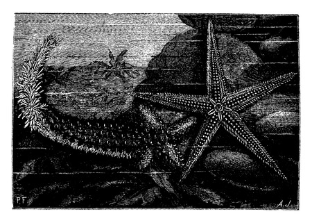 reproduction: Starfish in full reproduction of its rays. Normal starfish, vintage engraved illustration. Earth before man – 1886. Illustration