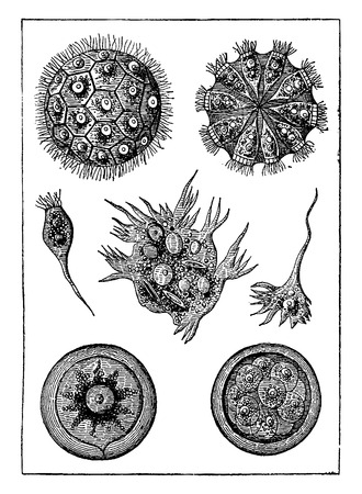 genus: Protists, intermediate beings. The magosphaera planula, vintage engraved illustration. Earth before man – 1886. Illustration