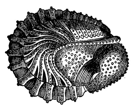 period: Crustaceans of the Devonian period, Phacops latifrons, Wraps, vintage engraved illustration. Earth before man – 1886. Illustration