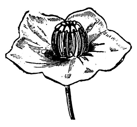 Flower Kalmia, Stamens placed on the stigma at the time of fertilization, vintage engraved illustration. Earth before man – 1886.