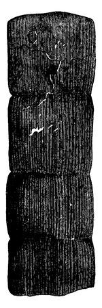 calamiteit: Planten van het Devoon. Fragment calamiteit versteende, vintage gegraveerde illustratie. Aarde voordat de mens - 1886. Stock Illustratie