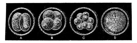 哺乳動物の作成の初期段階で、ヴィンテージには、図が刻まれています。男-1886年前に地球。