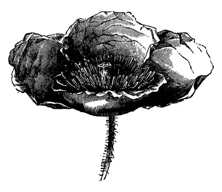 before: Poppy flower, vintage engraved illustration. Earth before man – 1886.