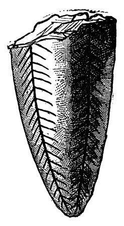 before: Conularia pyramidata, vintage engraved illustration. Earth before man – 1886.