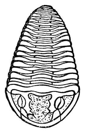 before: Trilobite, vintage engraved illustration. Earth before man – 1886. Illustration