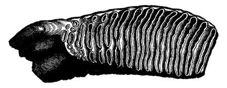 molares: Diente molar de un mamut, un tercio de su tamaño natural, cosecha ilustración grabada. Tierra antes que el hombre - 1886. Vectores