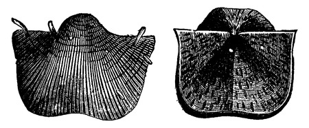 genus: Brachiopods of the Carboniferous period, vintage engraved illustration. Earth before man – 1886. Illustration