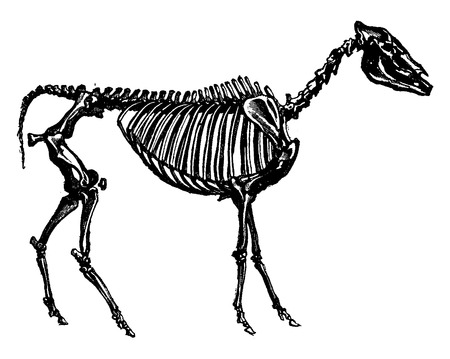 fossil: Fossil skeleton of a hipparion, probable ancestor of the horse, vintage engraved illustration. Earth before man – 1886. Illustration