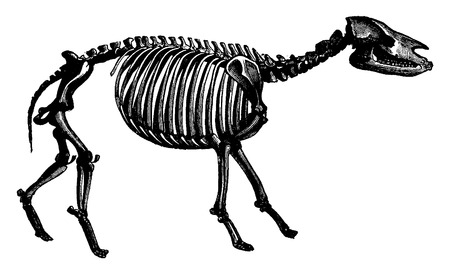 genus: Palaeotherium skeleton, The transformation of species, vintage engraved illustration. Earth before man – 1886.