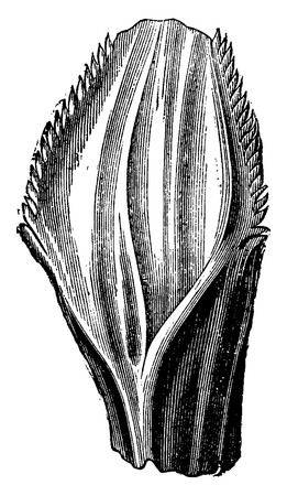 before: Iguanodon tooth, vintage engraved illustration. Earth before man – 1886.