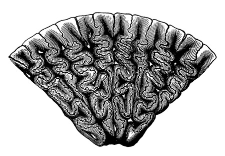 Fourth tooth Labyrinthodont, cross section magnified, vintage engraved illustration. Earth before man – 1886.