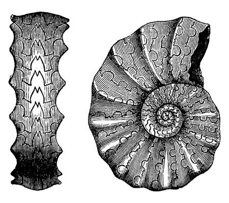mollusc: Ammonites Triassic, vintage engraved illustration. Earth before man – 1886. Illustration