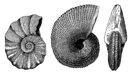 aon: Ammonites Triassic, vintage engraved illustration. Earth before man – 1886. Illustration