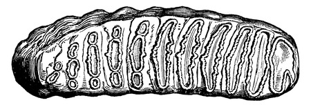 Molar tooth of Elephas antiquus, one third of the natural size, vintage engraved illustration. Earth before man – 1886.